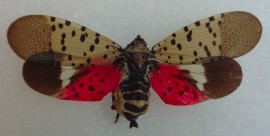 Image of Spotted Lantern Fly (Provided by CAES)